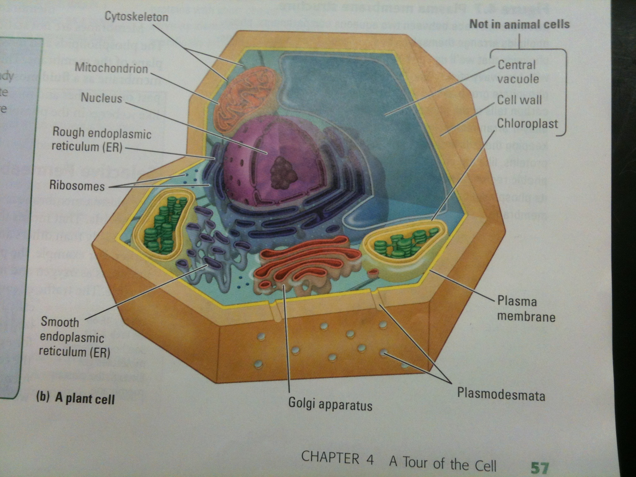 Plant Vs Animal Cells  U00ab Mr Calaski